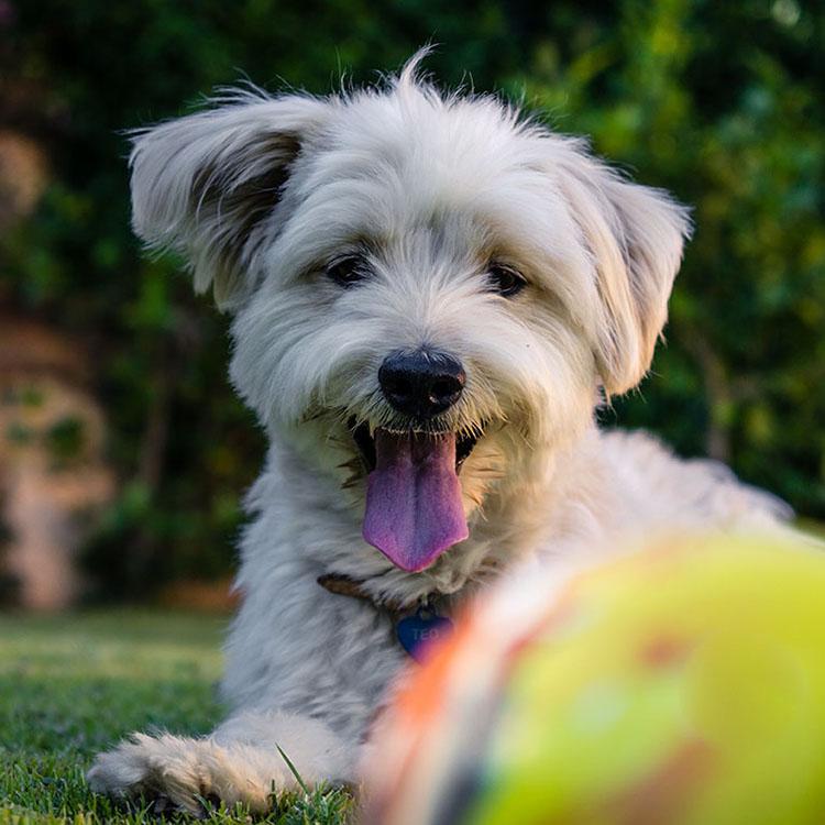 Dog-in-Grass-Yellow-Ball