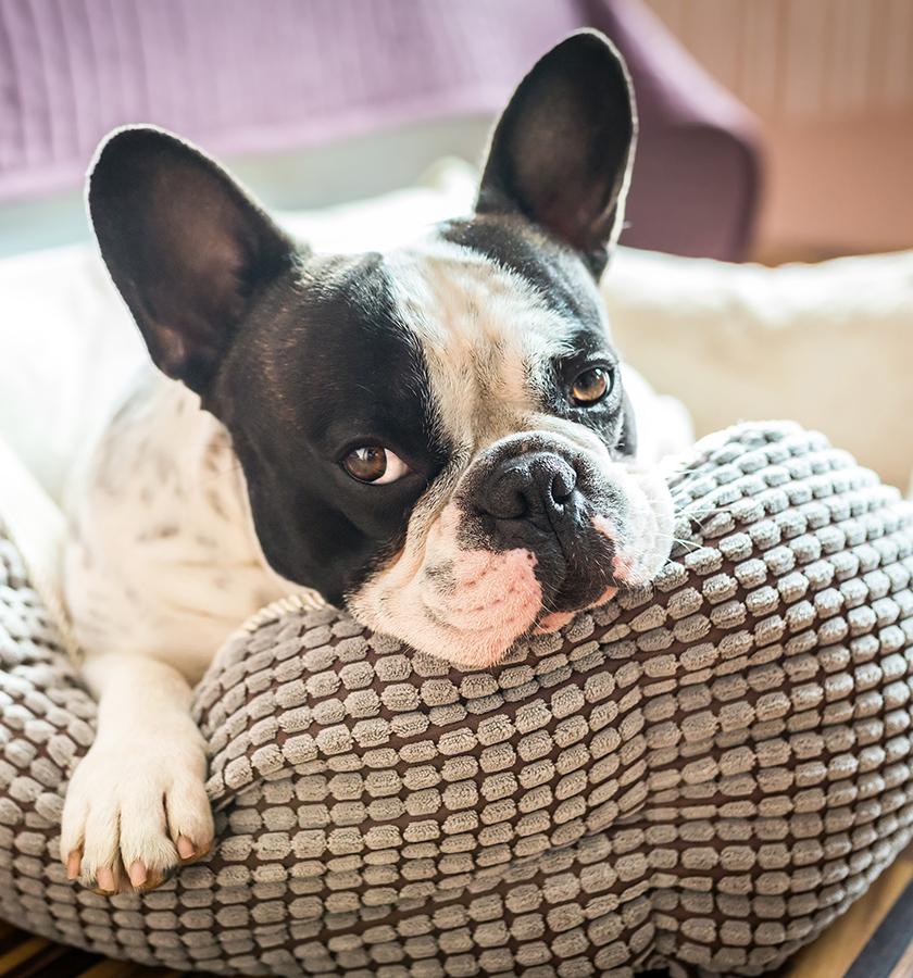 french bulldog in dog bed