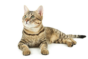 chisholm-trail-veterinary-clinic-love-my-pet-wellness-plans-adult-cat-healthcare