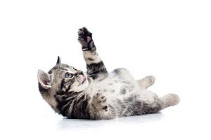 chisholm-trail-veterinary-clinic-love-my-pet-wellness-plans-kitten-healthcare