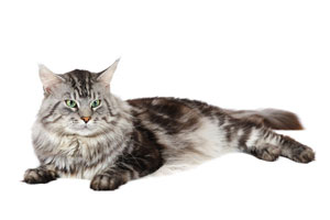 chisholm-trail-veterinary-clinic-love-my-pet-wellness-plans-senior-cat-healthcare